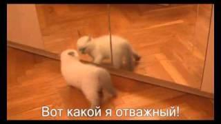С декабря 11-го! Шотландские вислоухие котята Киев