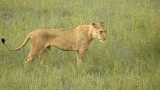Mating young lion couple - Masai Mara, Kenya 2010