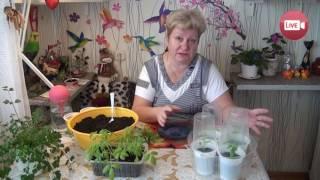 Персональный блог садовода и огородника Светланы Кацаповой 27 выпуск (спасаем рассаду)