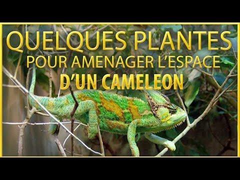 plante terrarium cameleon