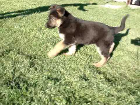 2 month old german shepherd 2 months german shepherd quot cola quot youtube 6431