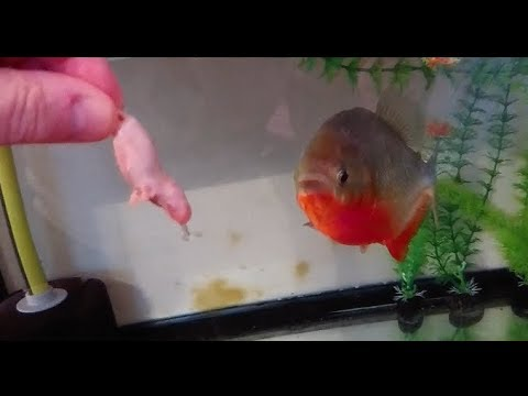Mice For My Red Belly Piranha Jon Snow (filmed Using A Sony Xperia Xz Premium)