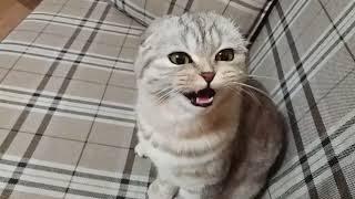 Мяуканье Кошки Хлои Скоттиш фолд 😻 Самая Красивая Шотландская Вислоухая 🐱 Scottish Fold Cat