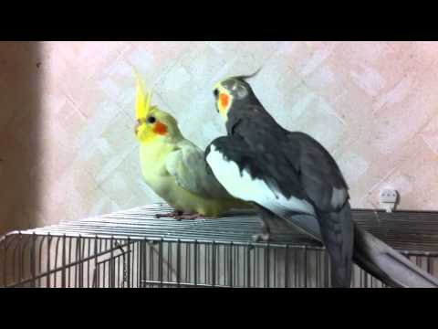 Cockatiel – Flirting