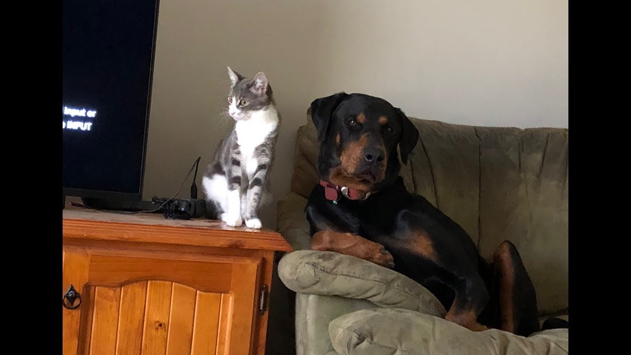 Sniper The Doberman X Meets Gracie The Kitten Youtube