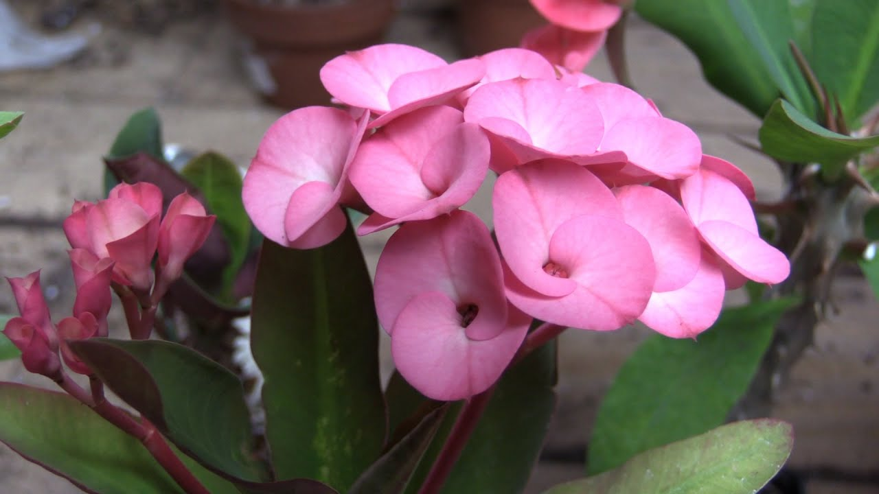 Growing crown of thorns euphorbia milii youtube mightylinksfo
