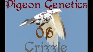 Pigeon Genetics [06] Grizzle