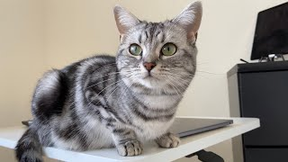 Life With Cats  American Shorthair & British Shorthair #17