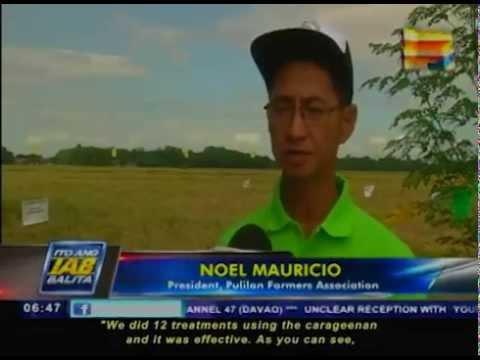 Organic fertilizer sa pagpapalago ng rice production, sinusubukan na ng DOST