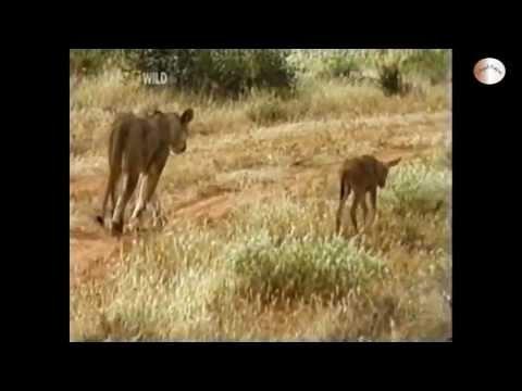 [HD]Tình thương yêu giữa Sư tử cái và linh dương con