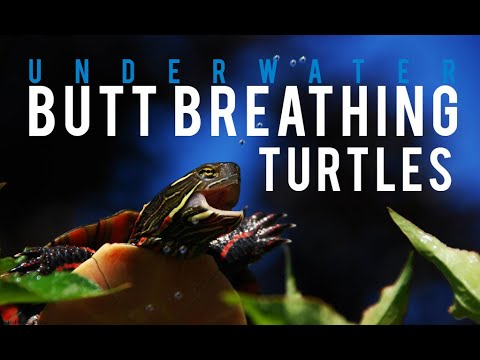 Turtles can breathe