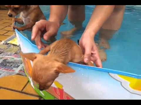 My babies chihuahua swimming session