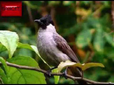 Suara burung untuk Pikat burung lain (Bancet)