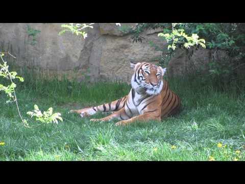 Как мяукает тигр