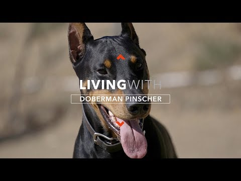 ALL ABOUT LIVING WITH DOBERMAN PINSCHERS