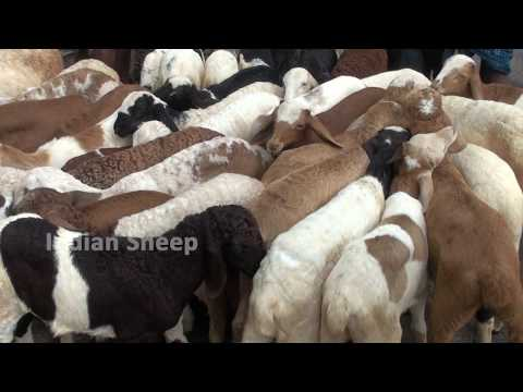 Baby Sheep For Rs  2500 At Tumkur Bazaar