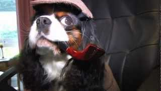Cavalier King Charles Learns From Online Dog Training Ecademy -- Why Don't You?
