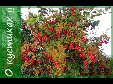 Вопрос: Какого ухода требуют виды барбариса со съедобными ягодами?