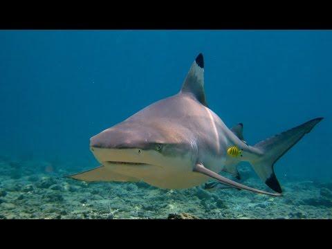 Sharks of Phi Phi Islands