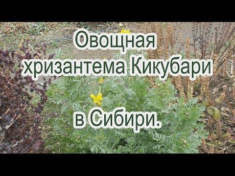 Вопрос: Как вырастить овощную хризантему?