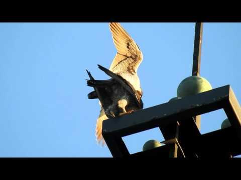 Vroege Vogels - Paring Slechtvalken