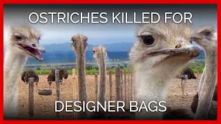 Ostriches Killed for Hermès, Prada Bags