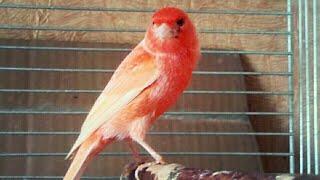 Красные Канарейки.Красавчик Поет! Пение Кенара.Разведение.Canary Singing