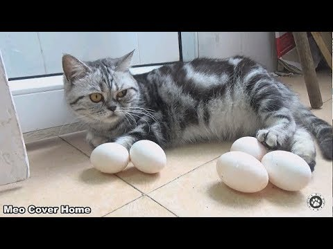 Oops ! My Cat Gave Birth To Eggs ? | Funny Cat Vines 2019