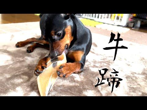 【ミニピン】ジロに牛のヒヅメをあげる!!【ミニチュアピンシャー】