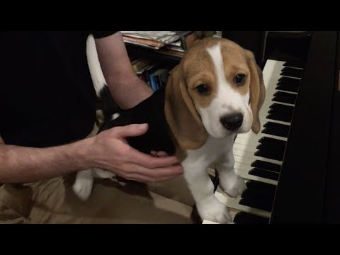 Adorable beagle puppy plays the piano