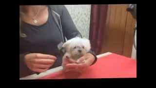 Malteser Hund RIU Ricci Romeo von Rosenholz Hammelburg