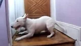 Getting Home Is Exciting...bull Terrier Hucklebutt