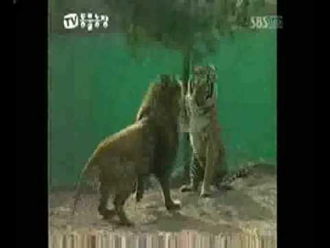Sumatran Tiger defeats African Lion Pride. Lions submit