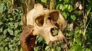 Download Video Silverback apes and other endangered animals  - BBC MP3 3GP MP4