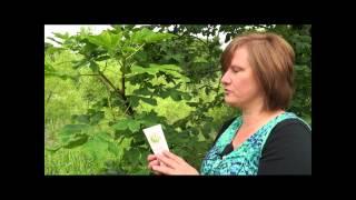 Horse Chestnut is a key plant in our natural Venatone Leg Cream