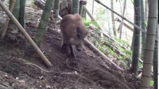 2017年2月21日土生町の竹林に仕掛けたくくりワナに、野犬より少し大きい...