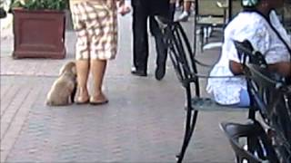 This Video Previously Contained A Copyrighted Audio Track. Due To A Claim By A Copyright Holder, The Audio Track Has Been Muted.     Toy Poodle Long Island Dog Training