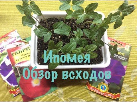 Ипомея: посадка и уход, фото сортов квамоклит, махровой