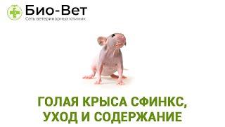 Голая крыса Сфинкс, уход и содержание