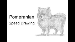 Pomeranian Dog Time-lapse (Speed) Drawing