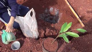Video Planting Musang King durian, number 1 durian in the world download MP3, 3GP, MP4, WEBM, AVI, FLV Juli 2018