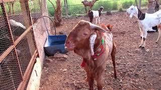 Janai Goat Farm Usmanabadi & Sirohi Goats By Rajaram Sir  (Hindi)