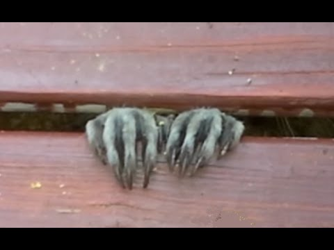 how to keep raccoons from pooping on the deck