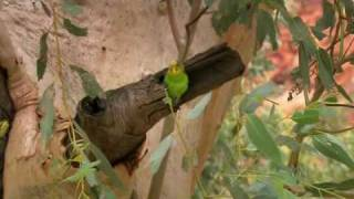 Австралия - страна попугаев 3/6(www.abc.net.au/programsales/s2242951.htm Попугаи и какаду - наиболее заметные птицы в Австралии.Они везде, и часто в большом..., 2010-09-05T20:35:56.000Z)