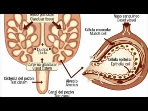 Glandula mamaria en el bovino - YouTube