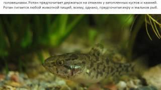 Фото и описание рыбы Ротан.