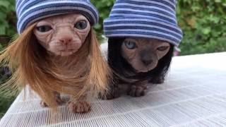 Гламурные лысые коты в шапках