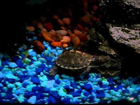 Baby Red-Eared Slider Semi-Aquatic Turtle - YouTube