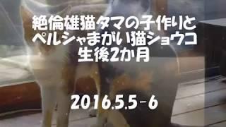 子作りが大好きだった失踪オス猫「タマ」とペルシャまがい猫「ショウコ」の子猫時代の思い出 2016 /5/ 5 -6 thumbnail