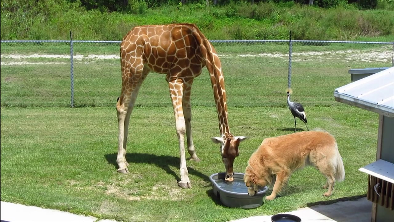 Baby Giraffe & Golden Retriever Dog - Best Friends! - Eating ...